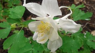 , this is one of my columbines These are so petite but gracious flowers they come in all colors