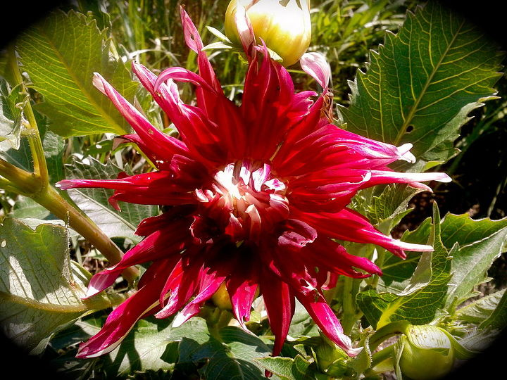 Hello Dahlia... just starting to bloom.