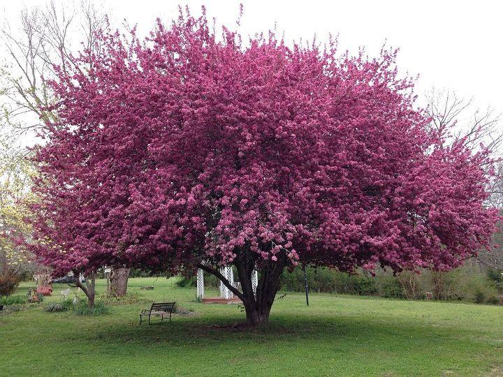 beautiful crabapple tree, flowers, gardening