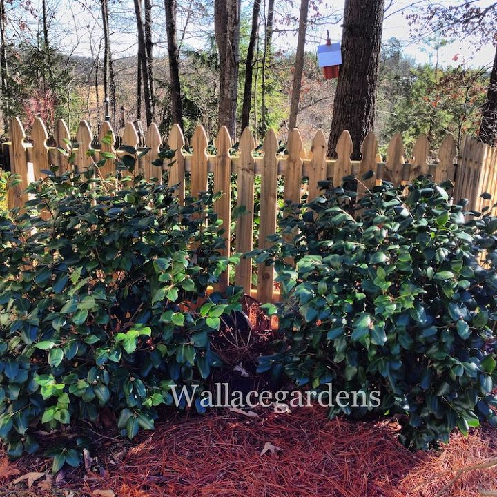 These fully established Camellia japonicas came through the polar vortex with flying colors, buds and foliage in tact, no covers necessary.