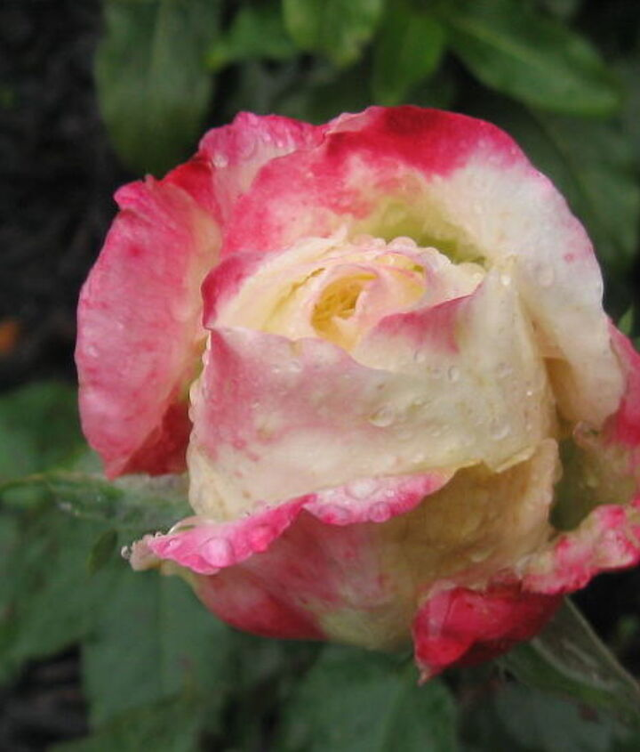 rose from mother s day finally starting to bloom pretty, gardening