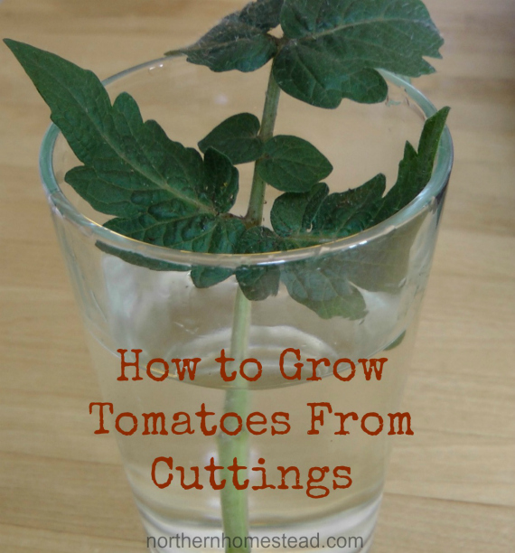 Growing Tomatoes From Cuttings