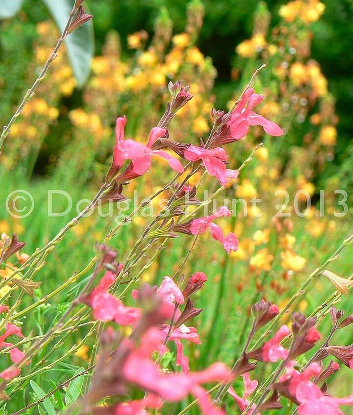 "Salvia greggii ""Lipstick""  blooms non-stop in my garden. Here it is with Bulbine frutescens behind it."