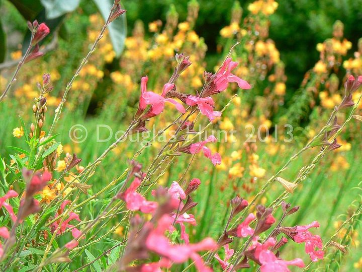 """Salvia greggii """"Lipstick""""  blooms non-stop in my garden. Here it is with Bulbine frutescens behind it."""