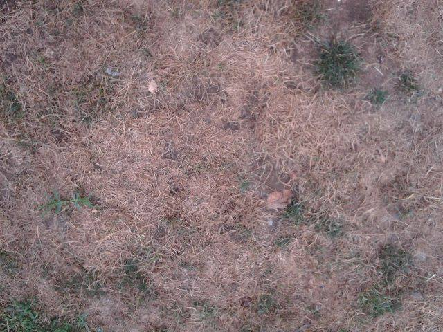 q why does my grass die every summer, flowers, gardening