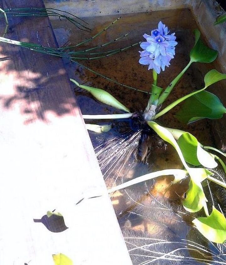 I also added some water hyacinths which produce beautiful blue flower stalks.