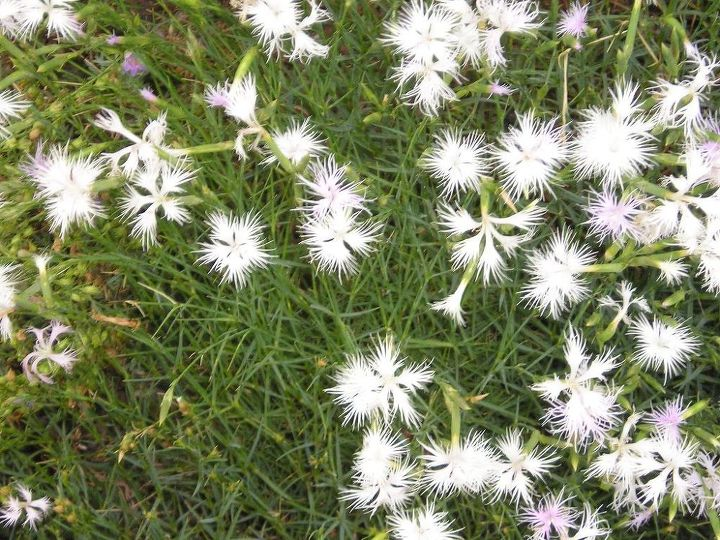 i m looking for seeds for a certain dianthus i used to have, gardening