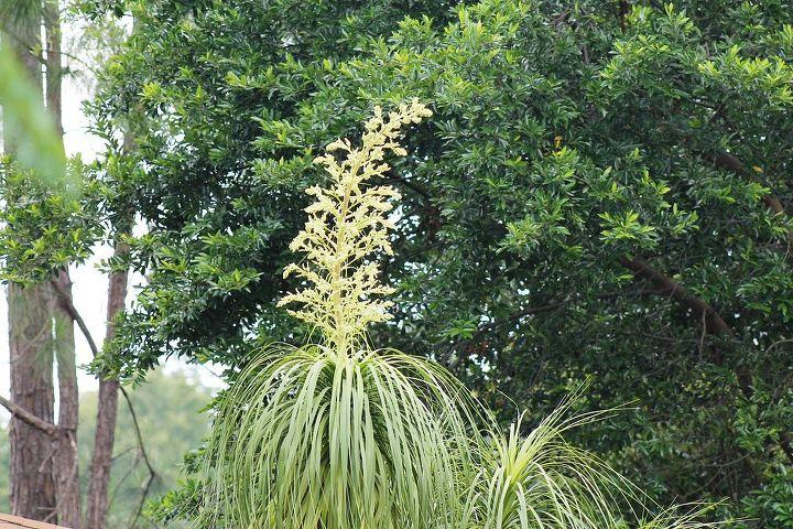Flower on Ponytail Plant