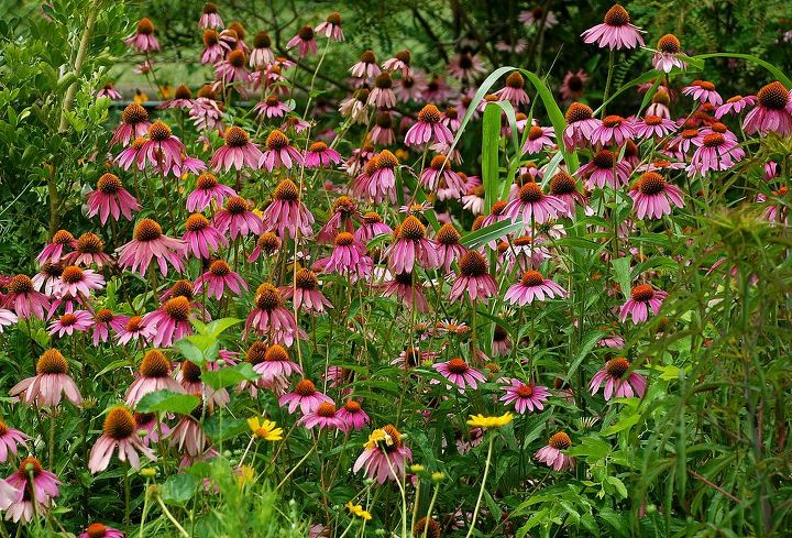 The Echinacea is going strong all over the yard.