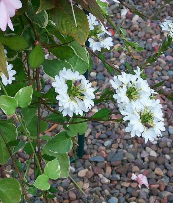 q can someone identify these flowers for me, flowers, gardening
