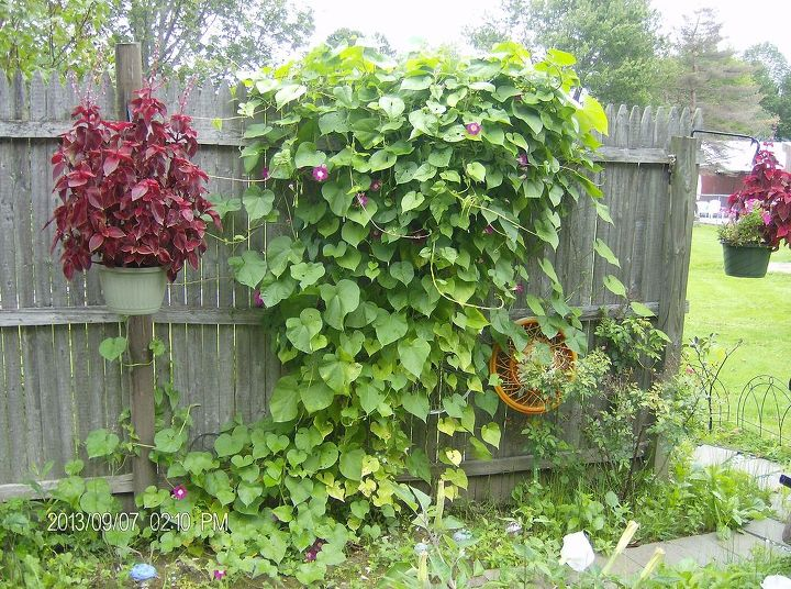And the morning glories have taken over....