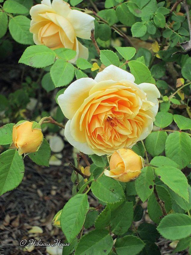 david austin english rose teasing georgia, flowers, gardening, hibiscus