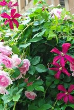 climbing rose and clematis combination, gardening, Clematis Madam Julia Correvon and pink climbing rose