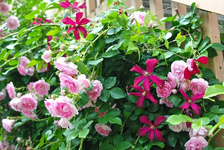 Clematis 'Madam Julia Correvon' and pink climbing rose.