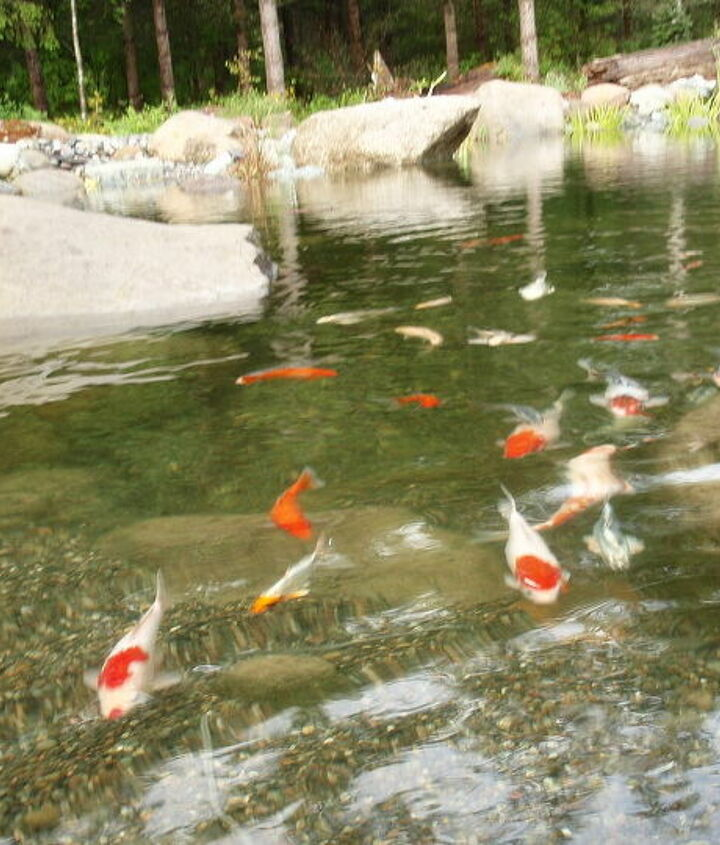 Friendly Koi!