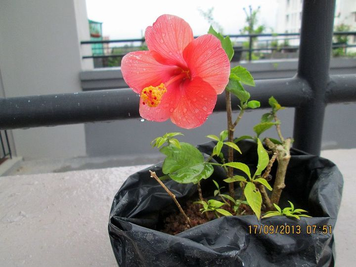 my little cutting has flowered, flowers, gardening, hibiscus