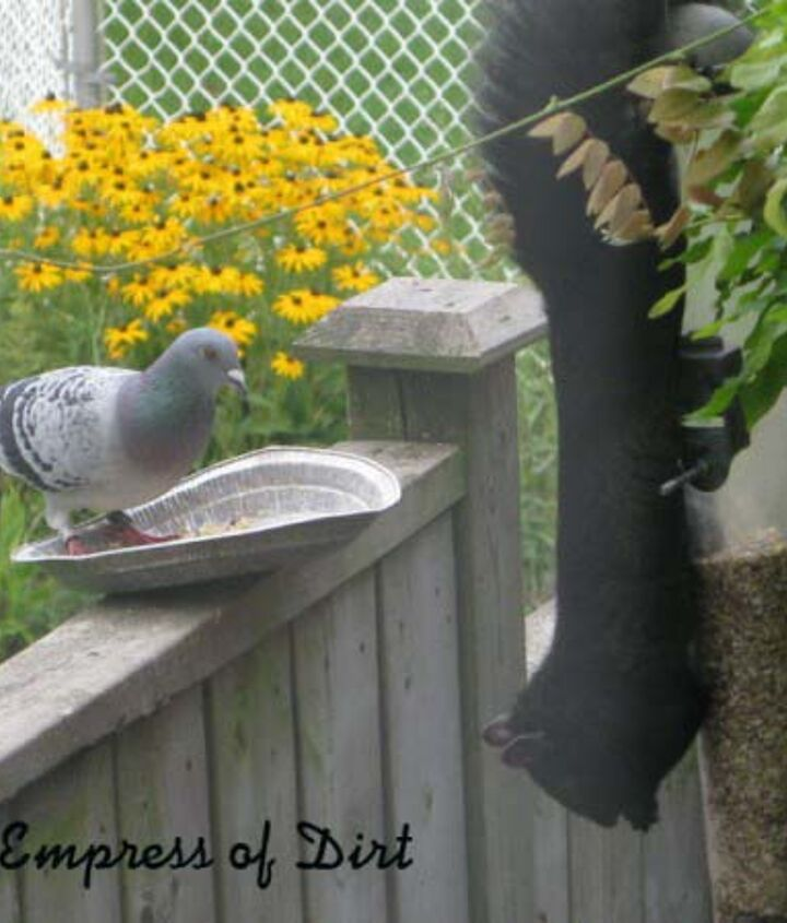 At first he flew away from the squirrels but eventually he let them step right past him to go raid the bird feeder.