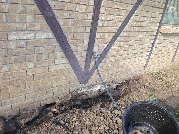 Sycamore tree roots growing between footing & foundation raising our house.