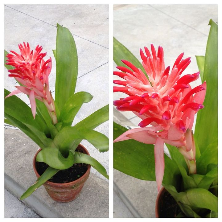 plant, gardening, Bromeliad but what kind is it