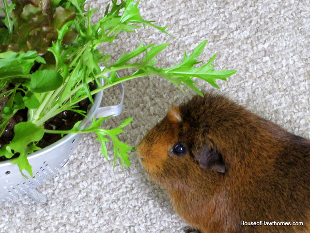 growing lettuce in a colander or how to grow and wash your veggies all in the same, container gardening, gardening, And this was all made for Ben The Guinea Pig You could use it for people lettuce but it turned out to be just the right height for Ben to snack on Sadly Ben died a few months after this photo was taken RIP Ben
