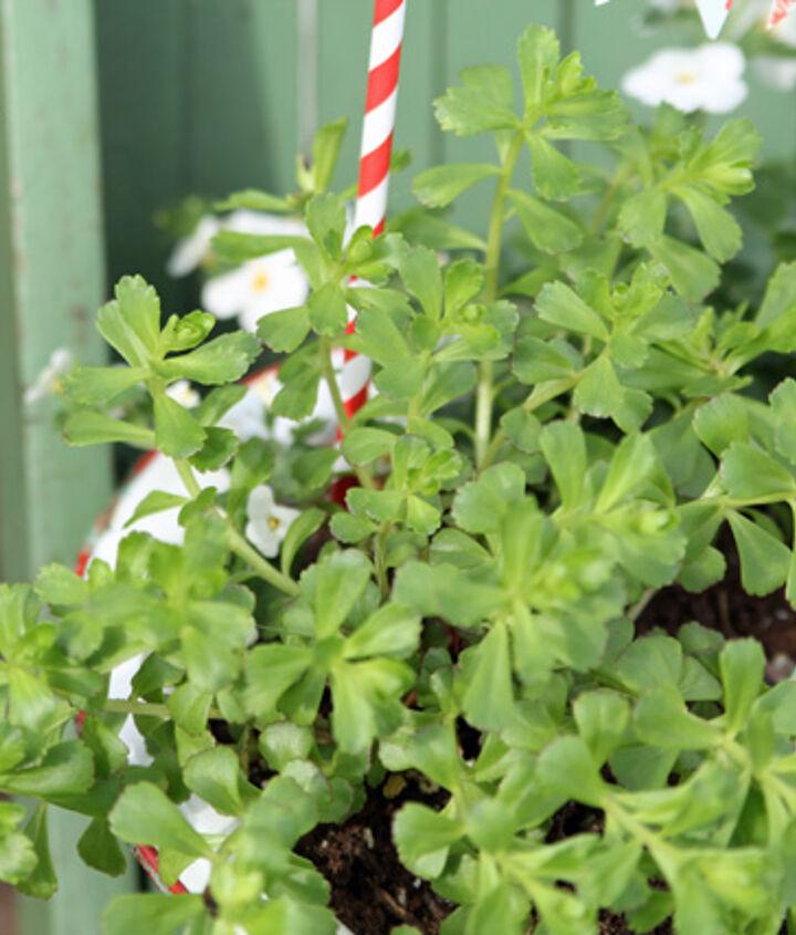 Sedum Kamtschaticum Ellacombeanum