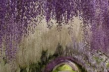 what flowering vines are best for your zone, gardening, landscape, outdoor living, Wisteria via Most Beautiful Gardens