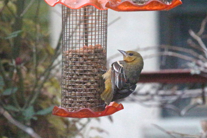 Emily's Day 2 (View 2). At a Thistle  Feeder (which contained Butter Buds). BEFORE her arrival, this feeder was discussed @ http://www.hometalk.com/1796499/part-6-small-peanut-feeder-back-story-of-tllg-s-rain-or-shine-feeder