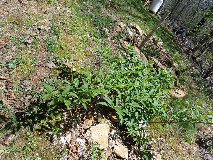 name these plants, flowers, gardening, I planted a shoot of this least year and can t remember what is was I lost name marker It is growing fast and arching branches