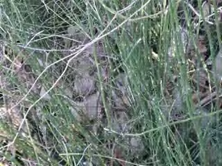 I was told it was Alligator grass, but seeing Alligator grass...this is not it.