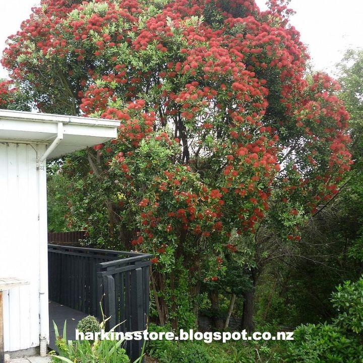 pohutukawa in full bloom, flowers, gardening