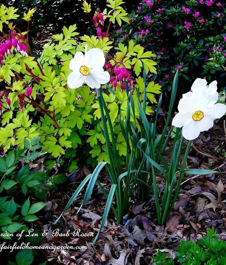 Bleeding Hearts and Poet's narcissus in the leaf mulch.