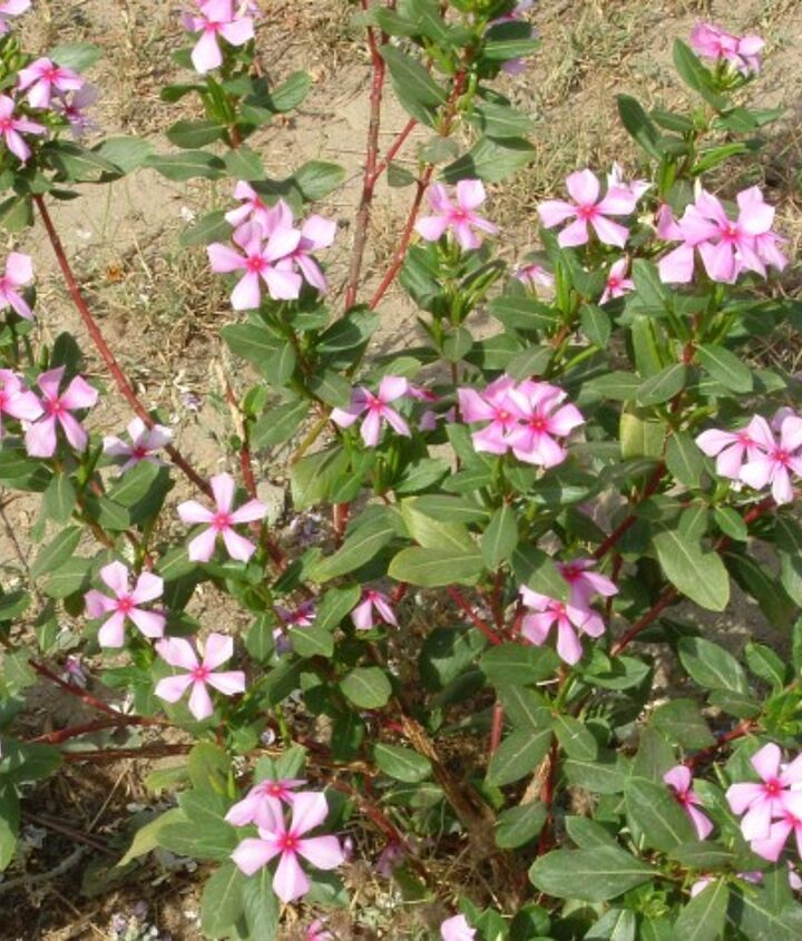 Google image. Looks the same to me...they called it Madagascar periwinkle (Catharanthus roseus)