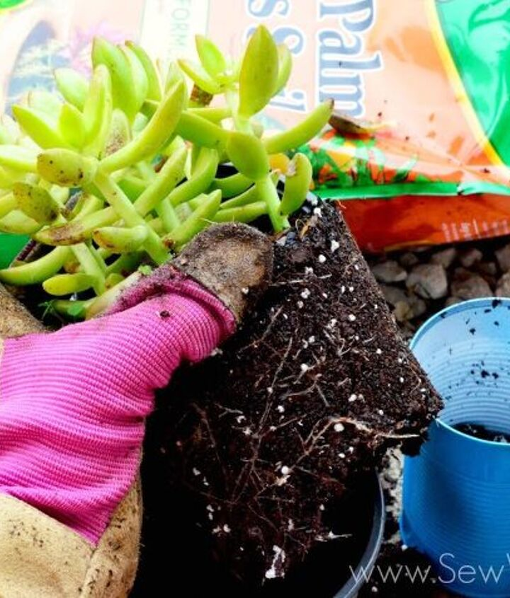aluminum can succulent garden, flowers, gardening, repurposing upcycling, succulents