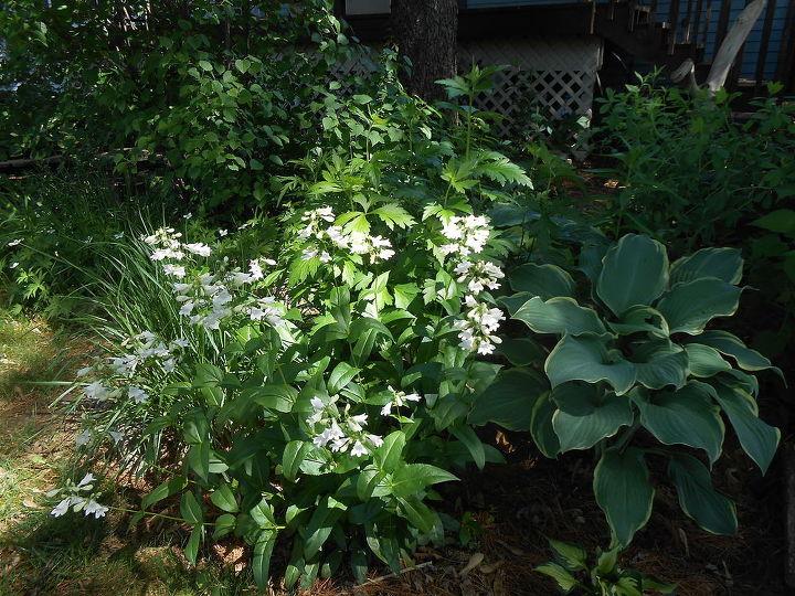 stars of my late spring garden, flowers, gardening, perennials