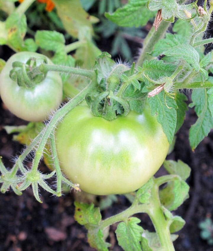 tomato plants container gardening, container gardening, gardening