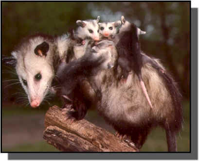 opossum, electrical, pest control, pets animals, Opossum her babies