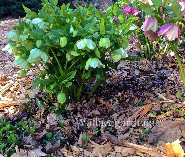 Lenten Roses: cutting off all the burned foliage allows the plants to show off without the distraction of last winter's weather damage. Can you see all the new babies coming up from the base? These plants are tough as nails.