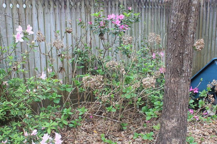 q n fl novice gardener advice on rehabilitating azaleas hydrangeas, flowers, gardening, hydrangea, Hydrangeas