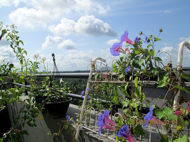 jasmine and morning glory in my terrace garden, gardening
