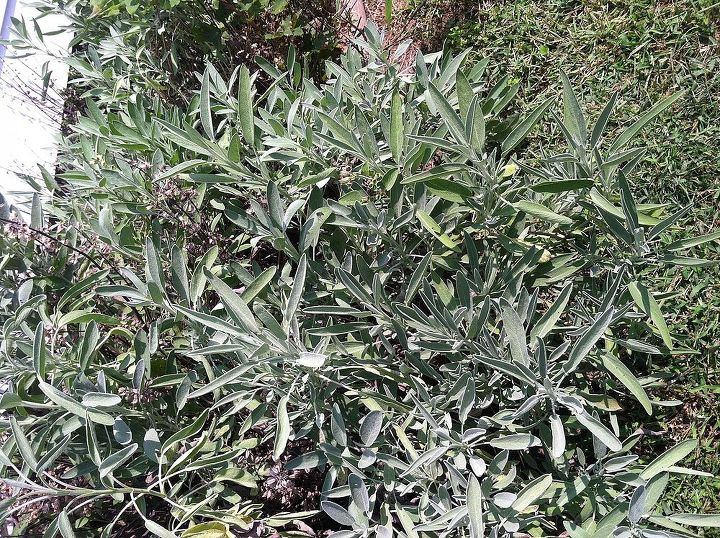 Close up of the sage herb
