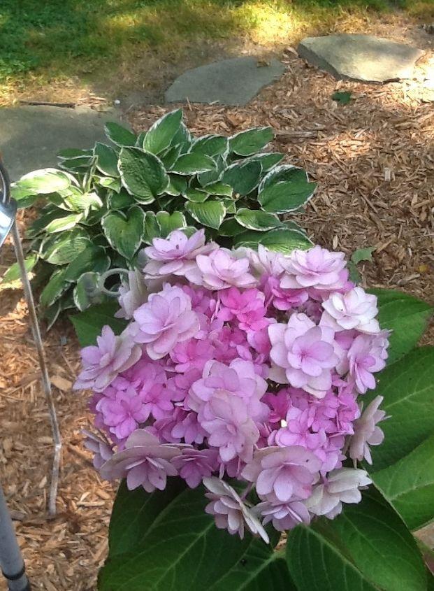 name of my hydrangea plant, flowers, gardening, hydrangea
