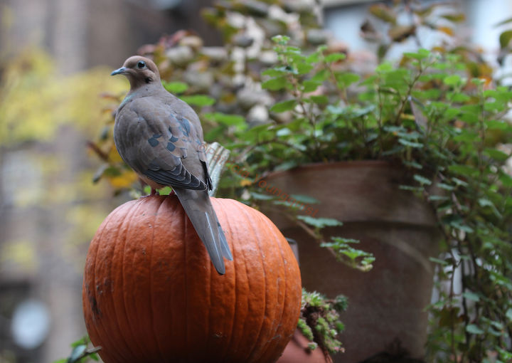 Mourning Doves are people watchers! He/she is STARING into my  neighbor's window (from atop the highest shelf in my Lucas hedge structure, but the exhibitionist no longer lives there)!  More info on this delightful bird @ http://ww