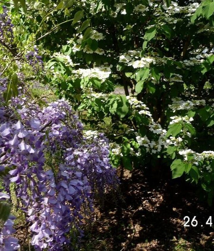 My purple Wisteria