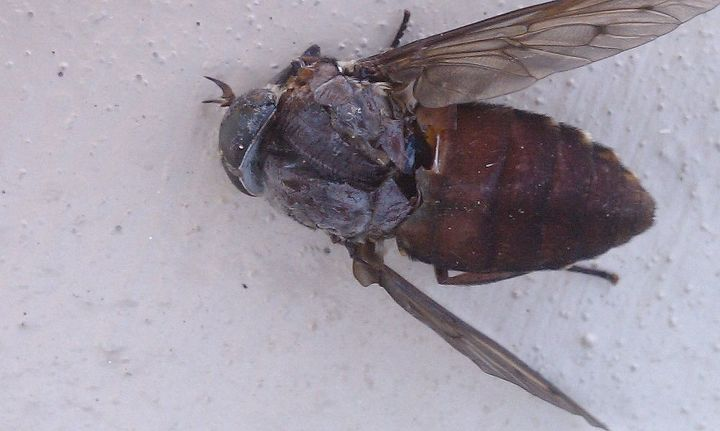 Large Deer Fly  - DEAD!   These things land on you and bite and keep attacking, including your HEAD, Back, Neck, Face,  Arms, Legs!