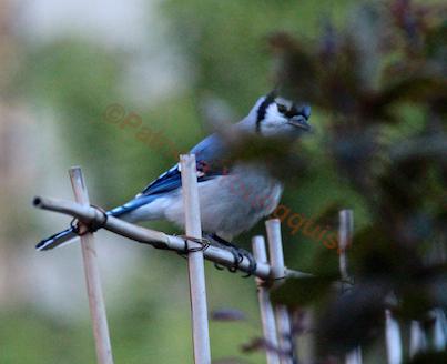 A lone blue jay surveys my garden @ http://www.thelastleafgardener.com/2012/11/god-gives-every-bird-its-food-but-he.html