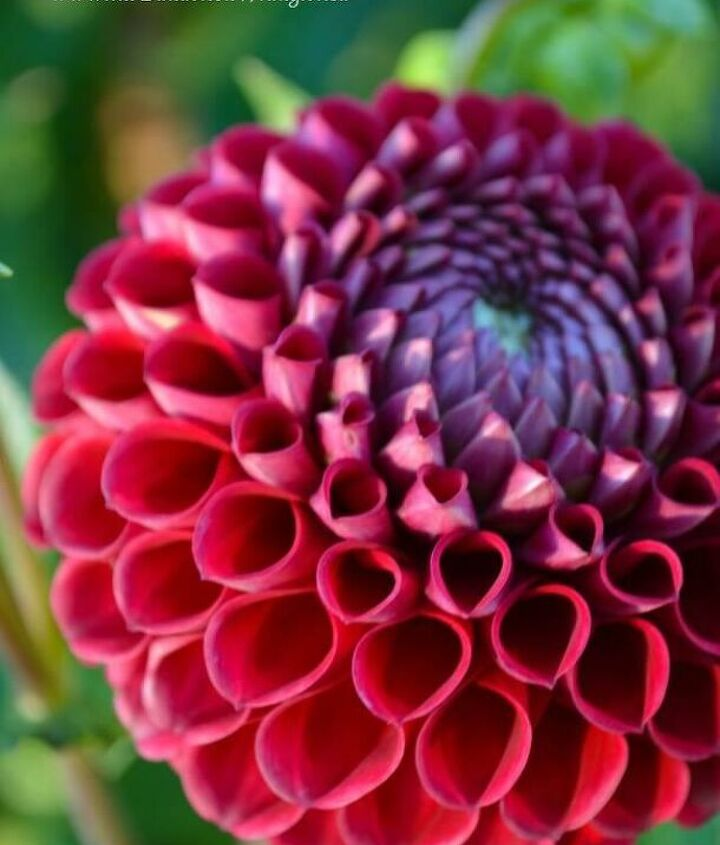 Loved this dahlia & its perfectly symmetrical petals.