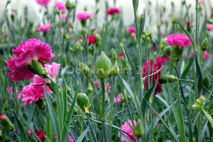 "Dianthus caryophyllus ""Blueboy,"" carnation"
