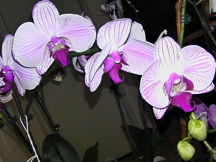 This is still a Phalaenopsis
