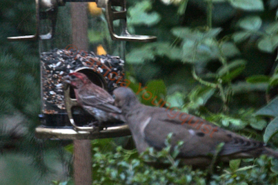"""A lone mourning dove opts for his/her shameless staring at """"others"""" eating! View One. (Referred to as Photo-Nine in post.)"""