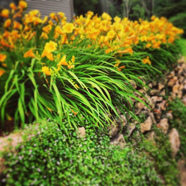 Stella D'orio lillies and Kenilworth ivy on the rock wall my husband built.